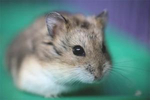 Com tenir cura d'un hamster jungarik