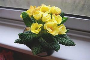 Çuha çiçeği bakımı nasıl