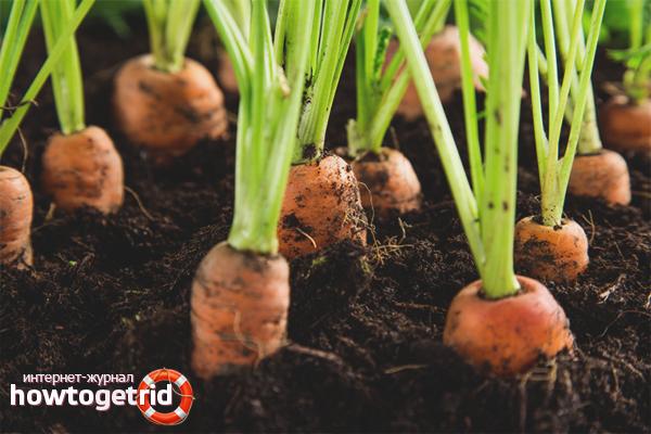Cara menanam wortel di kawasan lapang