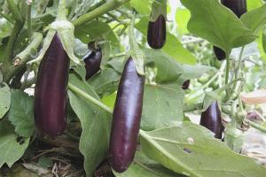 Cara menanam terung di tanah terbuka