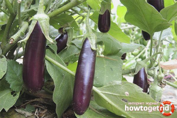 Wie man Auberginen auf offenem Boden züchtet