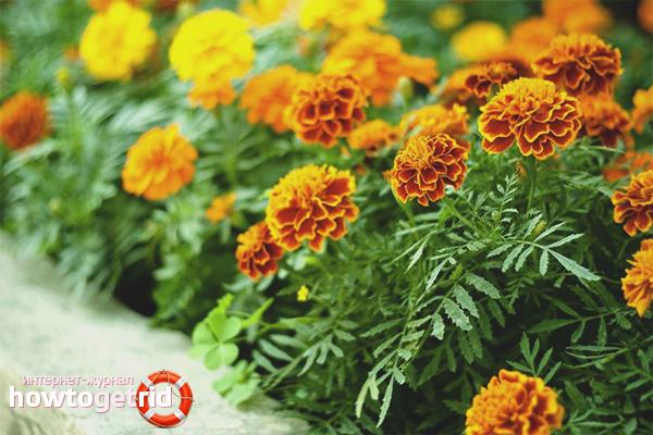 Wie man Ringelblumen aus Samen züchtet