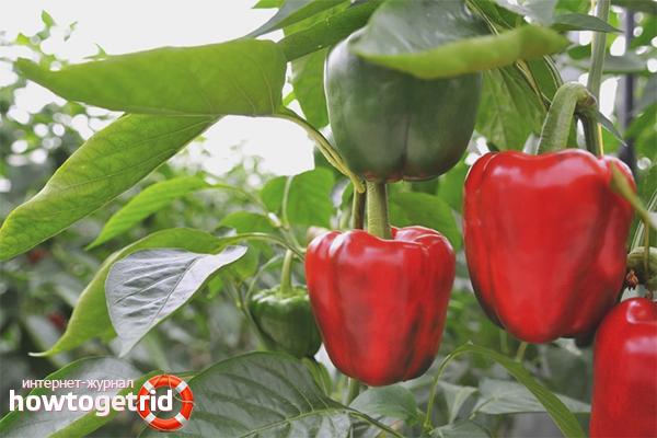 Wie man Paprika anbaut
