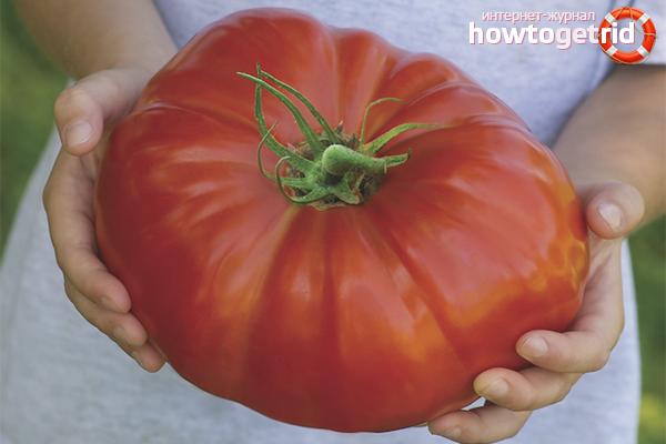 Cara menanam tomato besar