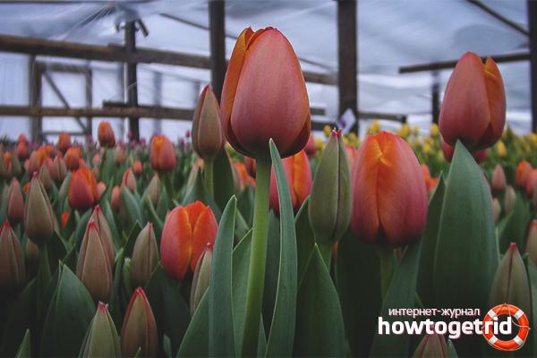Wie man Tulpen in einem Gewächshaus züchtet