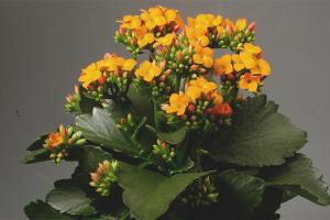 Kalanchoe çiçeği nasıl yapılır