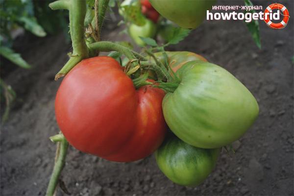 Baja untuk menanam tomato besar