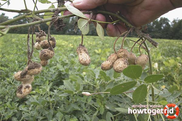 Kami mengumpulkan kacang tanah di kebun