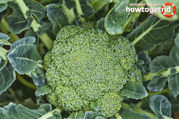 Perosak Brokoli