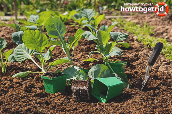 Menanam brokoli di tanah