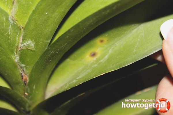 Was tun, wenn die Blätter an der Orchidee gelb werden?