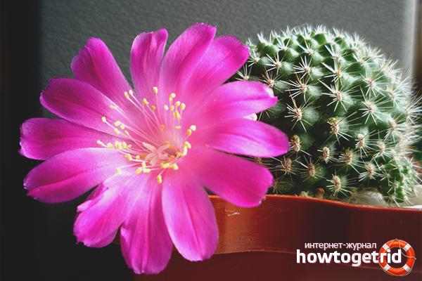 Ziedošs kaktuss