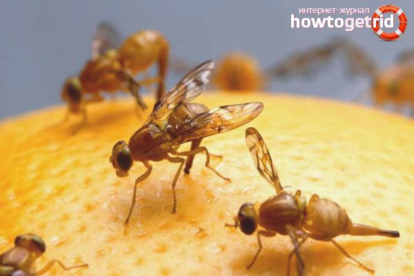 Kā rīkoties ar Drosophila
