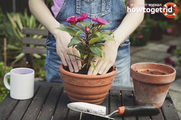 Como transplantar uma flor em outro vaso