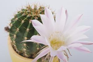 Cum să facă cactusul să înflorească