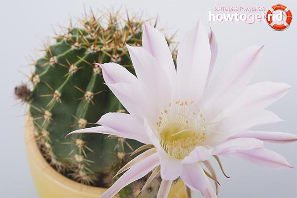 Kā panākt, lai kaktusi zied