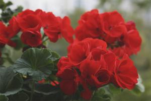 De ce geraniul interior nu înflorește
