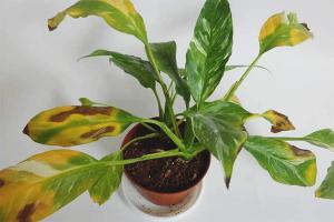 De ce frunzele de spathiphyllum se îngălbenesc