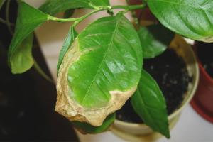 De ce lămâile se îngălbenesc