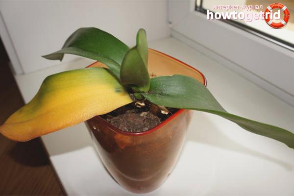 Warum werden Orchideen gelb?