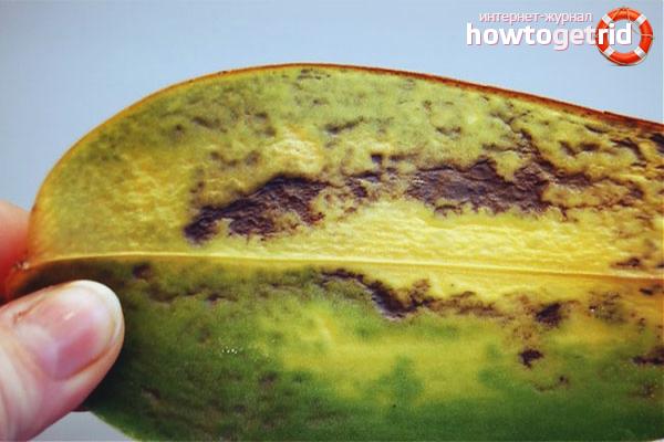 Gelbe Blätter einer Orchidee von Krankheiten