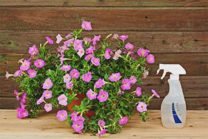 Hur man matar petunia för riklig blomning