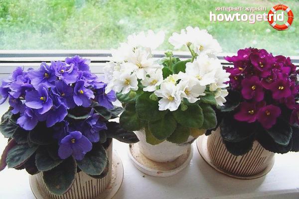 O que fazer se as violetas não florescerem
