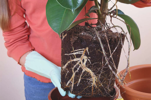 Cum se transplantează ficusul