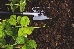 Hur man förbereder jorden för plantering av jordgubbar