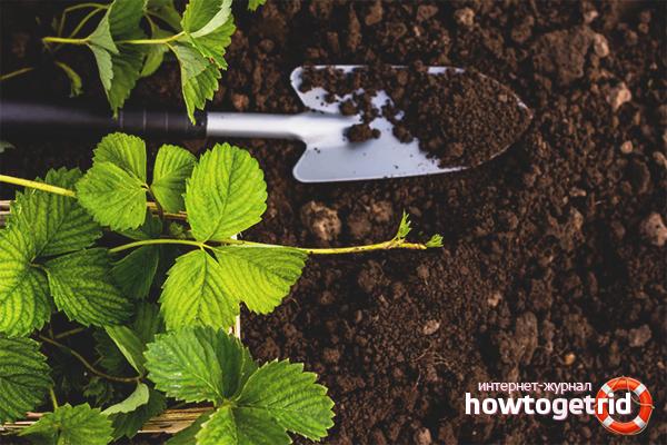 So bereiten Sie den Boden für das Pflanzen von Erdbeeren vor