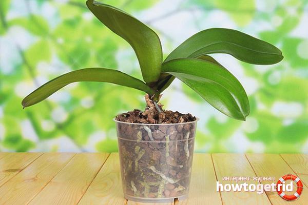 Warum die Orchidee nicht blüht