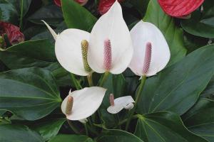De ce spathiphyllum nu înflorește