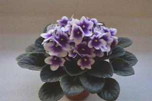 Hvorfor violer ikke blomstrer