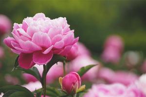 Varför pioner blommar inte