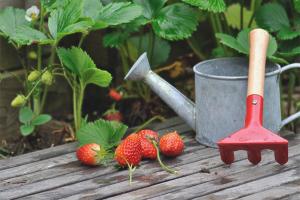 Hur man matar jordgubbar på hösten
