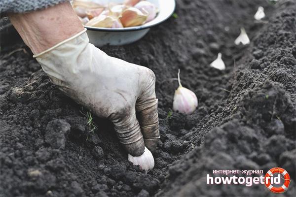 Wie man im Herbst Knoblauch pflanzt