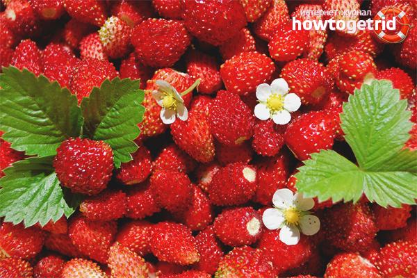Comment collecter et conserver les fraises