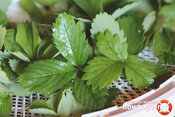 Propriétés utiles d'une décoction de feuilles de fraise