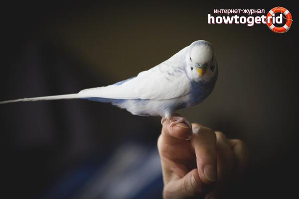 Papagalul pe mână