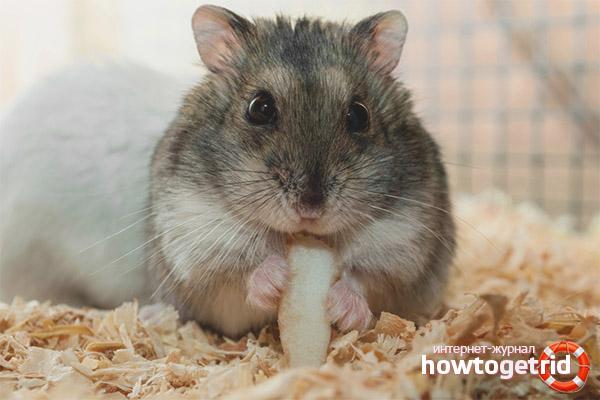 Règles d'alimentation des hamsters