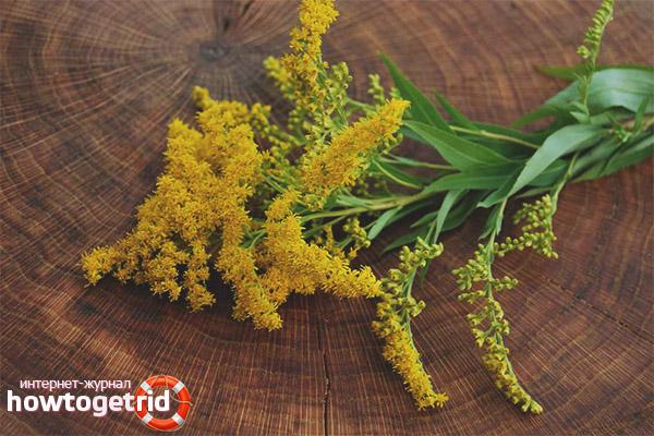 Sifat terapeutik dan kontraindikasi batang emas