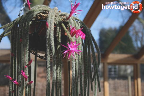 Aporocactus audzēšana un kopšana