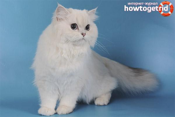 Lielbritānijas kaķis