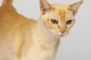 Ceylon katt