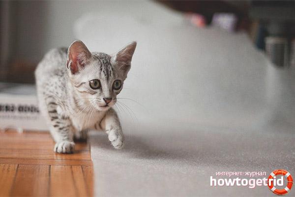 Egyptian Mau Perihal Baka Dan Watak Kucing
