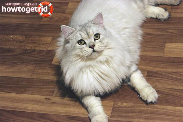 Britu garaspalvaina kaķa raksturs