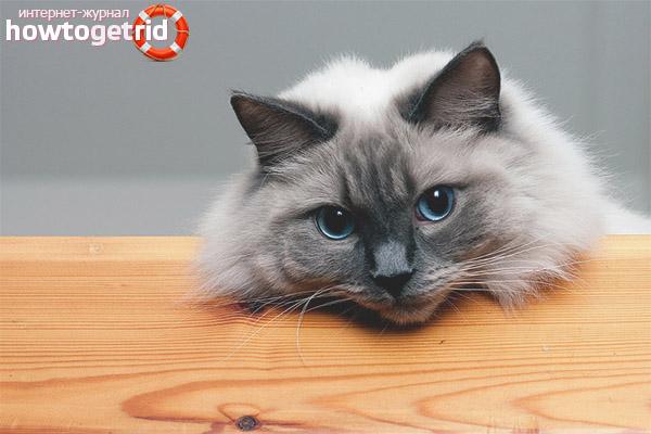Ragdoll kaķu raksturs