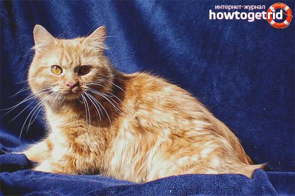 Kimryk kaķu šķirnes raksturs