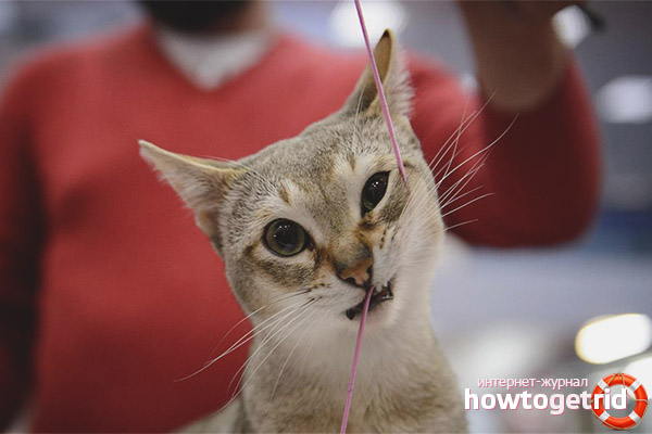 Singapūras kaķu raksturs