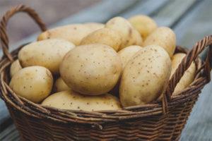 Patata lactant